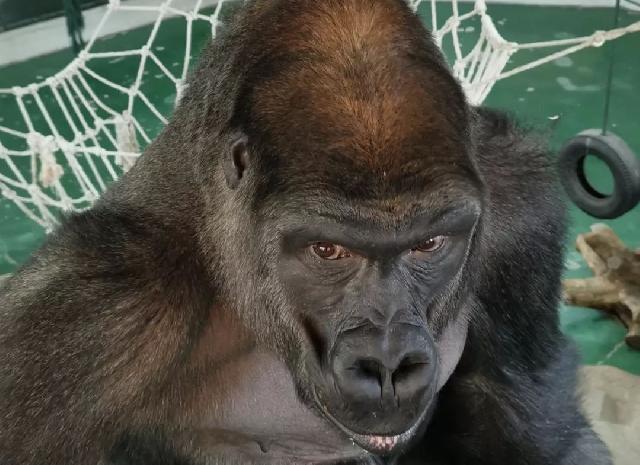 国内最大大猩猩家族:上海动物园的大猩猩们,大儿子海贝12岁了,小儿子海弟8岁了