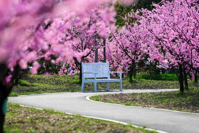 """想一睹""""粉红王国""""的盛景吗?仅此十天,美人梅迎来盛花期!"""