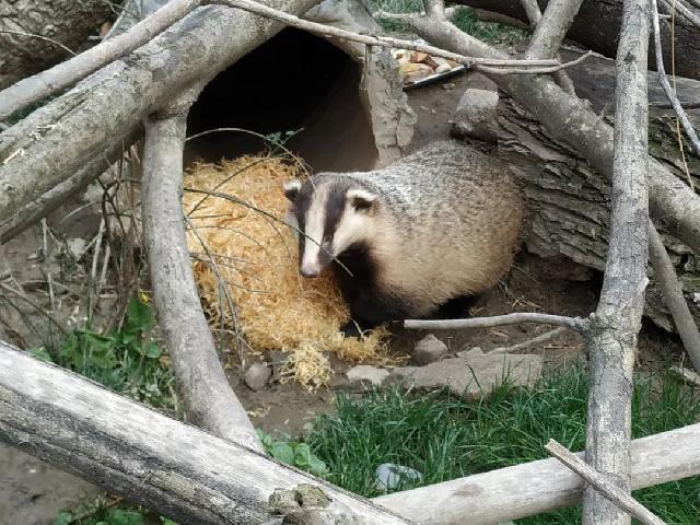 奉贤庄行的野生狗獾们准备搬家了!是上海目前最大野生狗獾种群,因原栖息地要造学校而搬迁