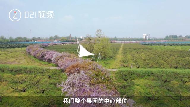 桃花未谢,紫藤又开!上海2.2公里紫藤长廊如梦似幻