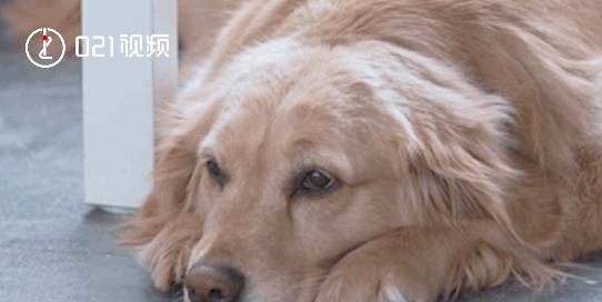 现在换我守护你们啦,流浪狗被救后成为疗愈犬